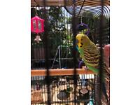 Budgies + large cage