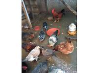 Chickens £7