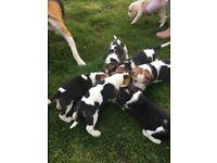 Beautiful beagle pups