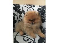 Stunning Pomeranian Girl Available
