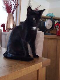 6 mth old female kitten british shorthair black