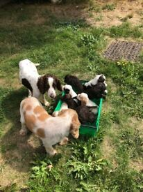 mixed litter of cocker spaniels for sale