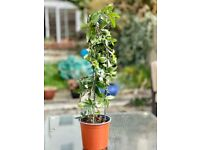 Passionflower - climbing plants for your garden