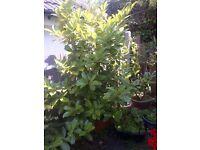 large Cherry Laurel plant in a pot
