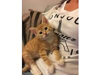 Ginger Tabby Pattern Kitten - Male