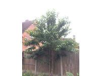 7ft+ False Cherry Tree