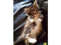 Gorgeous Siberian kittens