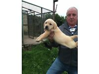 labrador pups for sale k/c reg