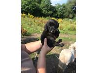 X2 beautiful black spaniel cross Lakeland puppies