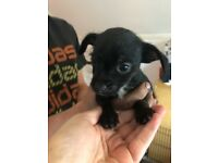 Patterdale x chihuahua puppies puppy's