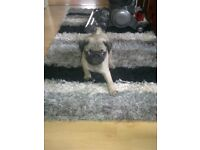 stunning fawn boy pug puppy ready now