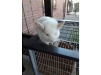 male chinchilla with cage and accessories for sale