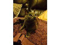 FOUND Grey cat Heartsease