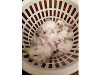 lovely furry baby bunnies for sale