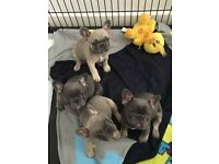 READY NOW! French Bulldog Puppies