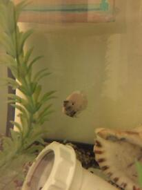 Convicts Cichlid (marble)