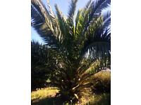 Palm Tree/Yucca Plant for sale £50 (Margate)