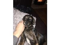 dachshund cross French bull dog (can see mother and father pictures if needs be)