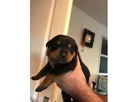 10 chunky Rottweiler pups