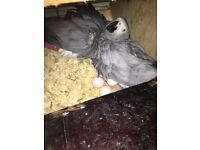 BONDED BR/PAIR OF AFRICAN GREY CONGO BIRDS, NOT TAME GROWLERS