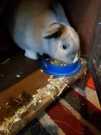 White rabbit for sale