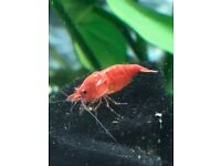 WANTED Red Cherry Shrimp
