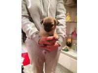 beutiful pug puppy male 8 weeks old