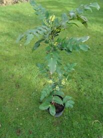 Mahonia plants £2 each 6sgl available