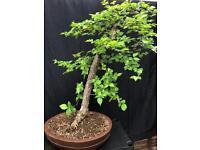 Bonsai tree cork bark elm