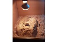 Juvenile Bearded dragon for sale
