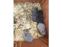 4 beautiful Rex rabbits, ready September 1st
