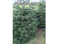 Christmas Trees - Low Drop, You Choose We Cut!