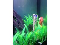 Red half moon beta fish