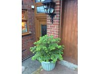 4 LARGE BEAUTIFUL POTTED CONIFERS