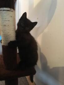 Black male kitten - last one of litter