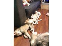Last beautiful Siberian Husky puppy for sale.