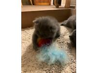 British Shorthair X kittens - All now reserved