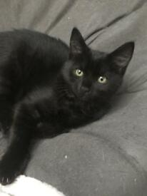 Beautiful British shorthair x female kitten