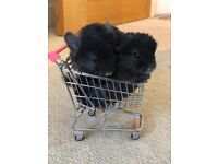 **NOW SOLD** Two Black Ebony Chinchillas for sale. One male, one female. Only 4 months old.