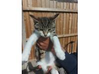 Gorgeous Tabby kitten FOR SALE NOW 8 weeks old cute kitten