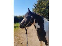13.3 coloured mare