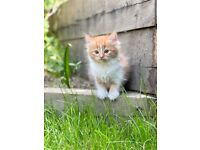 6 Beautifull persian cross kittens for sale (ready to leave)