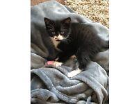 Gorgeous 3month old little girl kitten