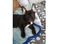 Beautyful french bulldog puppy - KC registered! REDUCED!!!!!