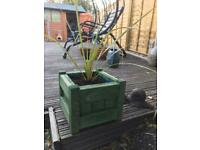 Cordyline plant in wooden planter
