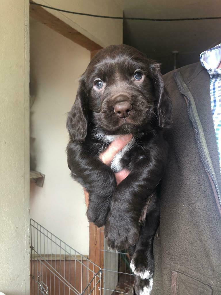 Sprocker Puppies for Sale | in Craigavon, County Armagh | Gumtree