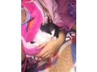 Kittens for sale Shrewsbury Shropshire £25 2 left black white 8weeks