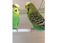 2 Budgies For Sale 1 Male 1 Female and cage