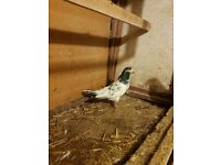 Pigeon For Sale Pakistani Teddy