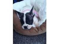 3/4 French Bulldog 1/4 Staffordshire bull terrior